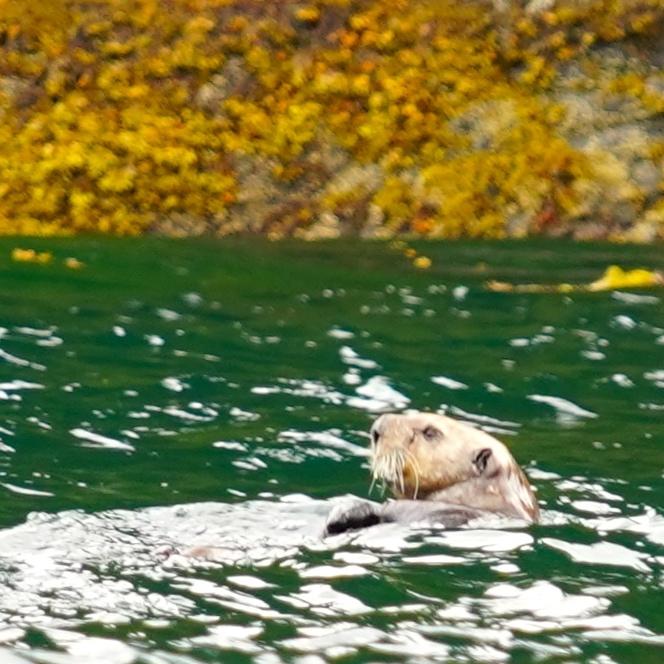 6-25-18 Otter Halleck Bay 1.JPG