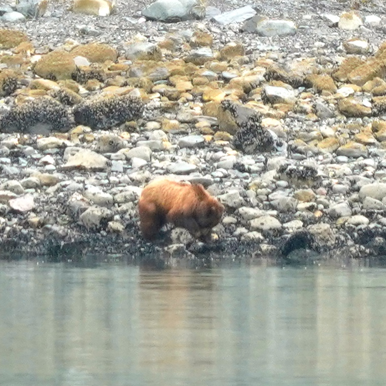 6-29-18 Brown bear 12.JPG