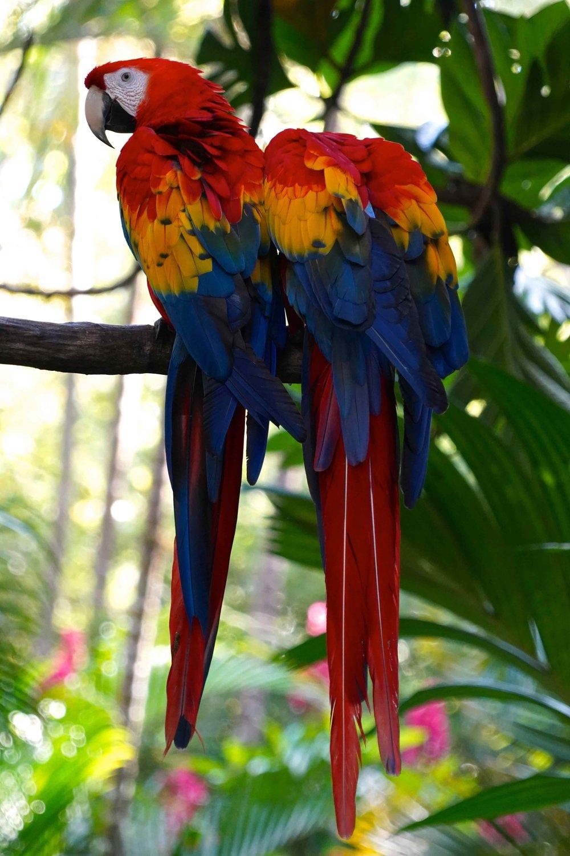 Scarlett Macaws in Costa Rica