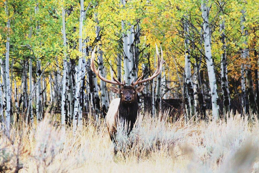 jackson-hole-bull-elk.jpg