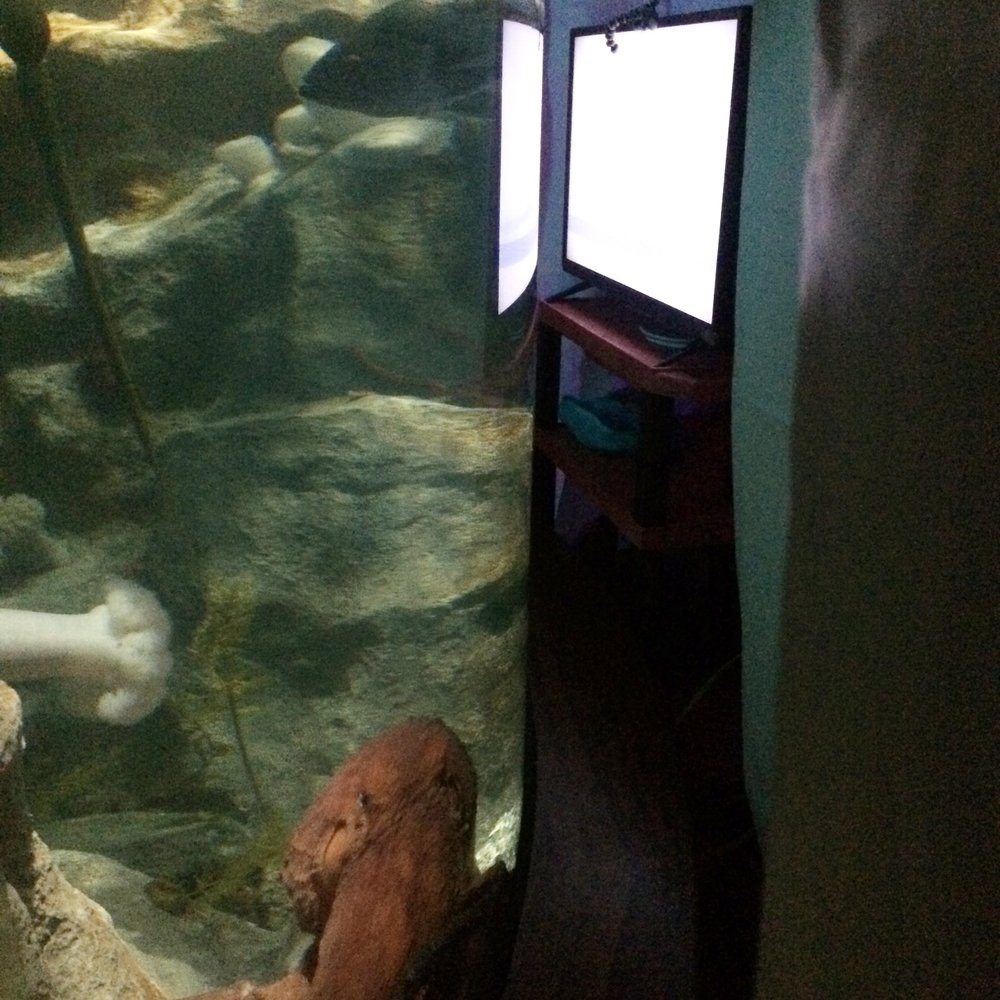 A giant Pacific octopus watches trial video footage of a small conspecific octopus.