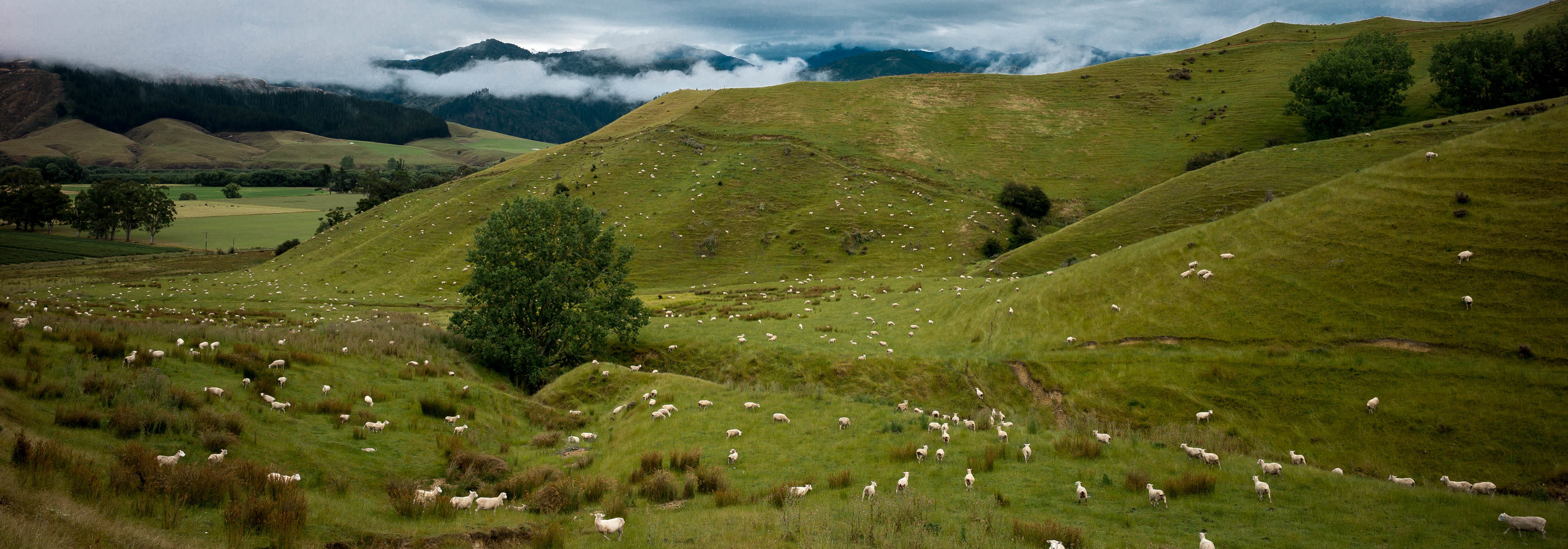 Sheep Sheep Everywhere