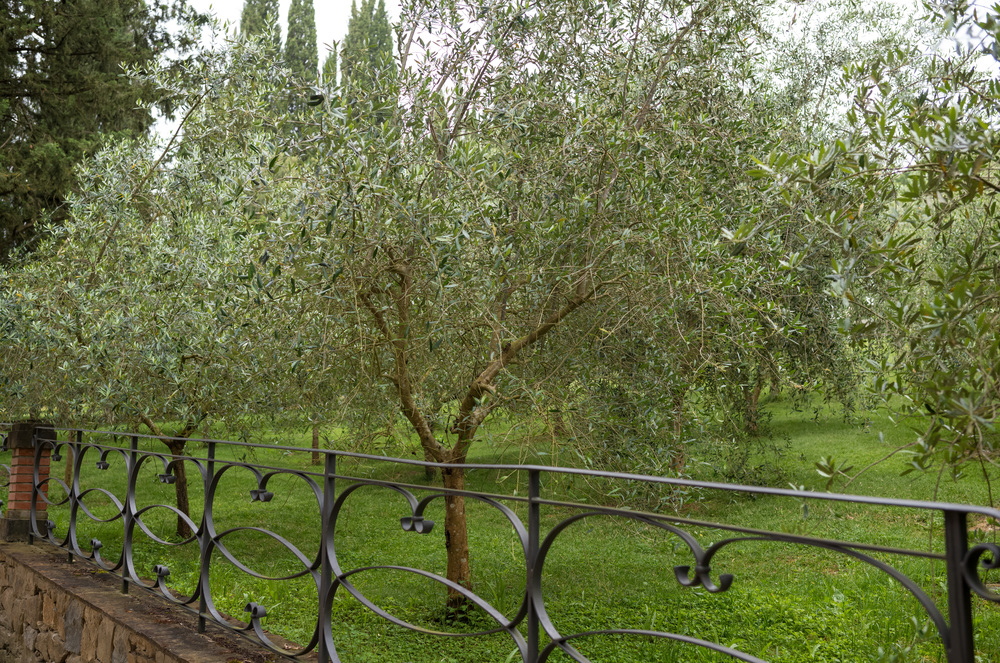 Silver-green olive trees everywhere