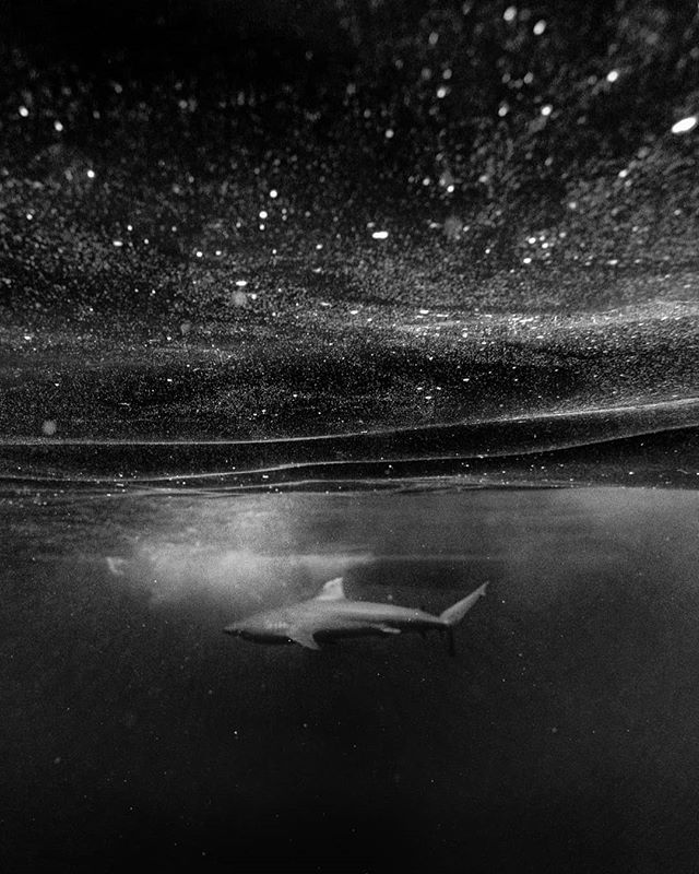 Swimming with sharks in Hawaii was one of the craziest exciting things I've ever experienced, at first it was so scary sliding into the deep ocean amongst these amazing animals but after 10 minutes I felt completely comfortable floating around sometimes at arms reach from them.  Swipe right to see more images and some footage @tim.seller shot.