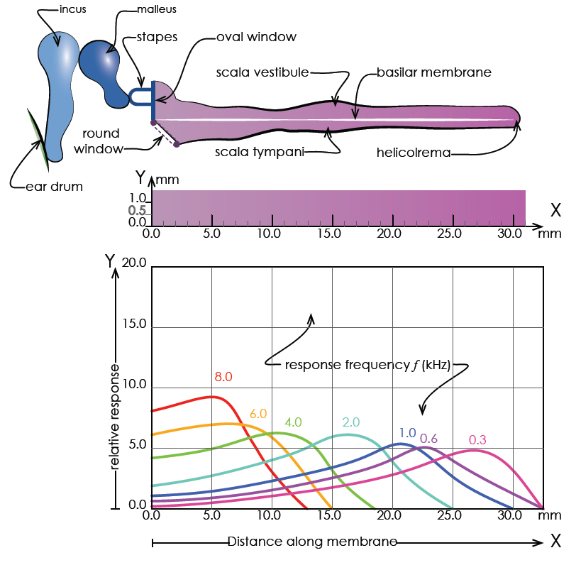Longitudinal section of an unrolled cochlea and an accompanying graph showing the response maxima. The sensitivity of different parts of the Basilar Membrane to a number of pure tonal frequencies. The Basilar Membrane is tonotopically mapped . Diagram adapted from the original by Bruel & Kjaer Ltd (TURNER, John and Pretlove, A.J., 1991).