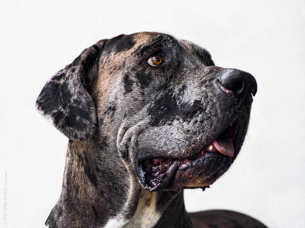 Dogge Portrait.jpg