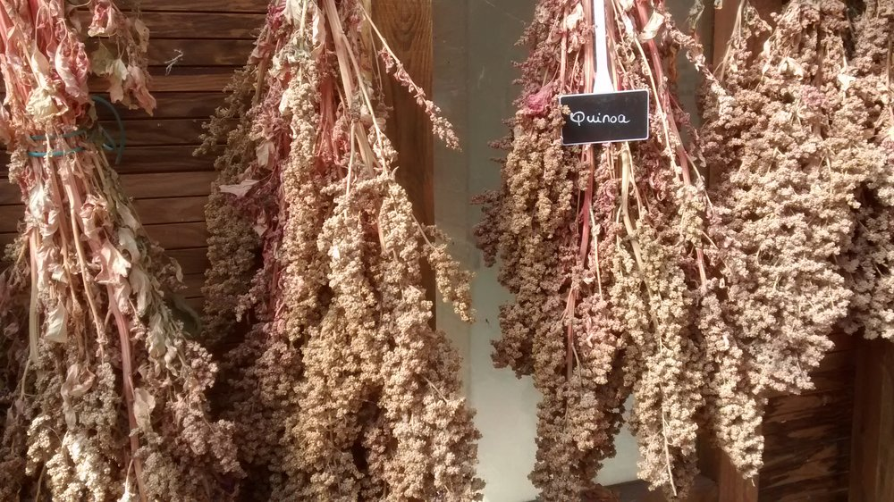 A picture of hanging quinoa, courtesy of www.freeimages.com