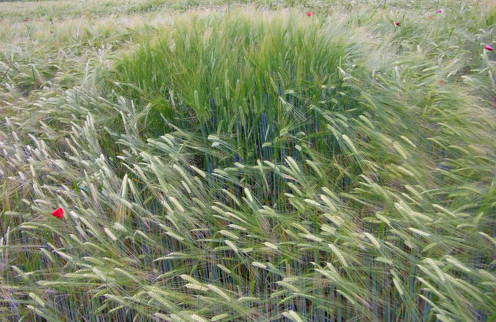 Barley in the field, ripening. Photo courtesy of www.freeimages.com