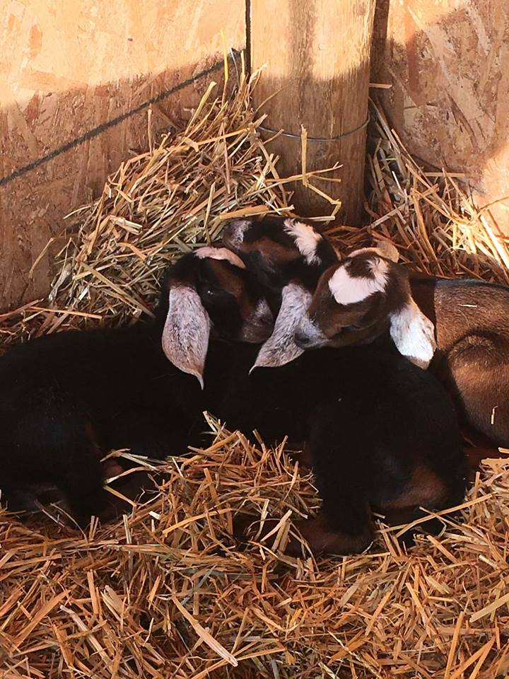 Three little babies all bundled up together. Eris Sunshine made some cuddly babies. Photo by Janet Miller