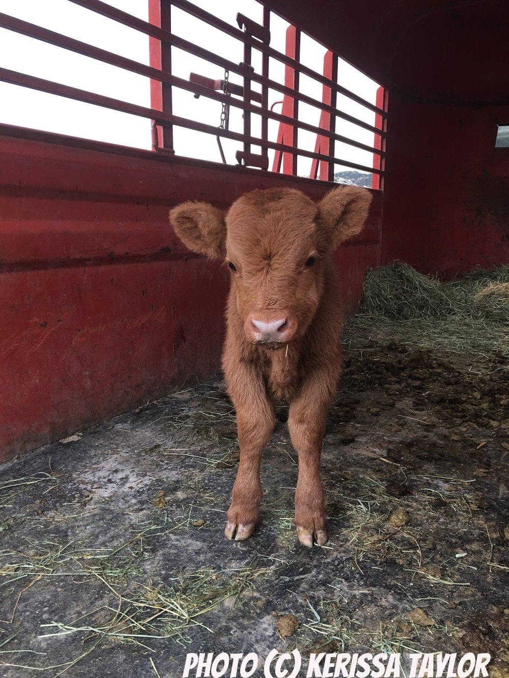 Wovoka Franch Calf Baby