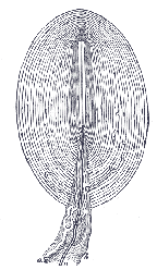 A Pacinian Corpuscle (aka the world's smallest onion)
