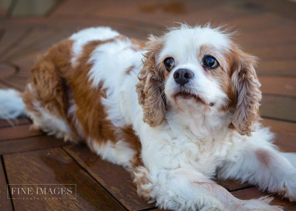 Cavalier spaniel Sunshine Coast pet portraits