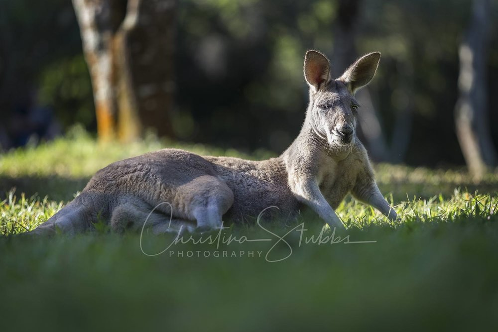 Old man kangaroo at Australia Zoo