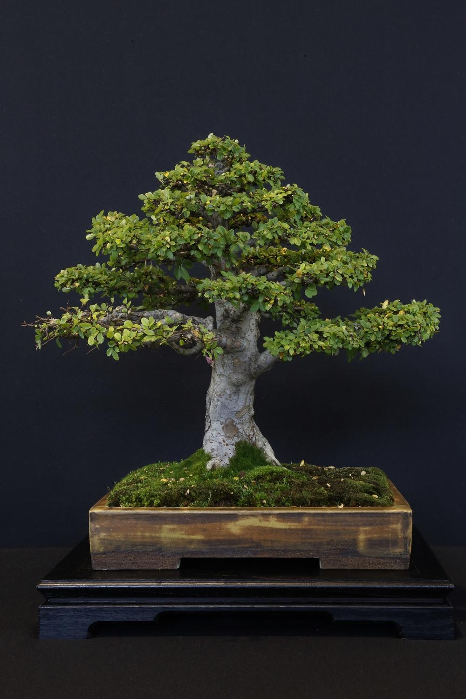 Ulmus parvifolia 'Thaiwan