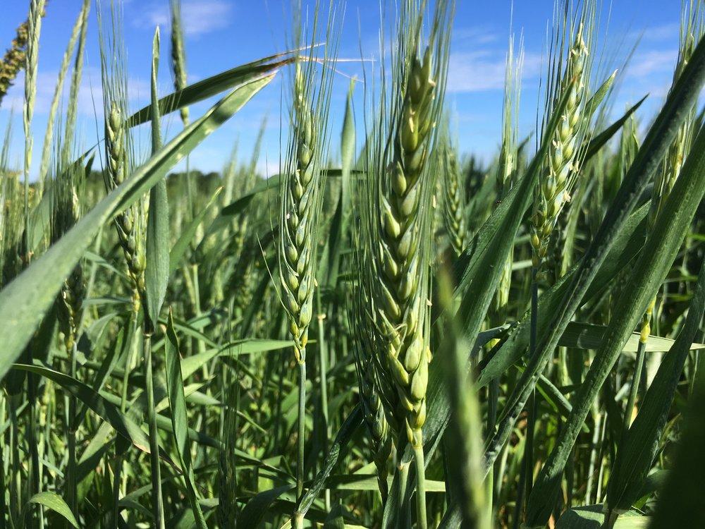 Wisconsin wheat at  Meadowlark Organics
