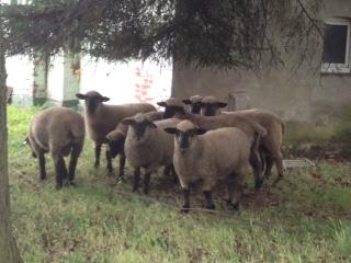 German Blackface lambs