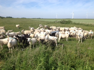 Joerg Jensen's flock on the Hamburger Hallig coast