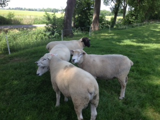 Kalli Fischer's senior rams: two German-bred Texels; a Danish-sired German Whiteface and a German-bred Suffolk