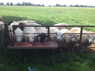 Texel, Suffolk & Charollais shearling ram lambs from Kalli Fischer