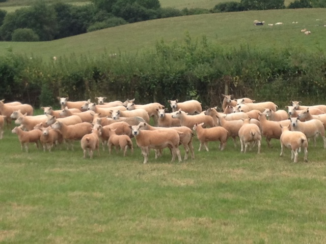 Texel ewes and lambs at Paul Quick's