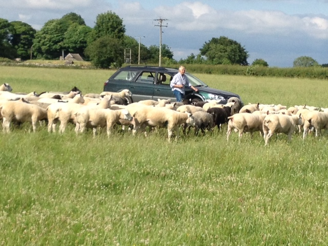 Sue Andrews with some of this year's crop of ram lambs