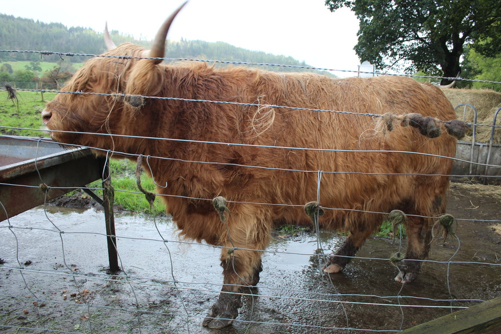 Highland Cow at Kilmahog