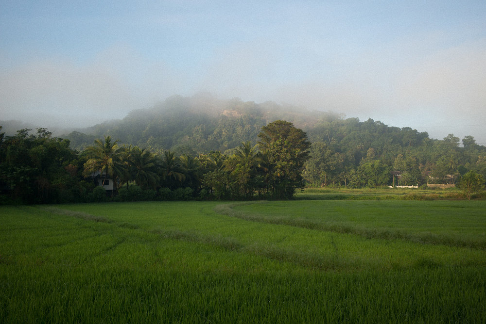 Paddy fields, Kurunegala, North Western Province