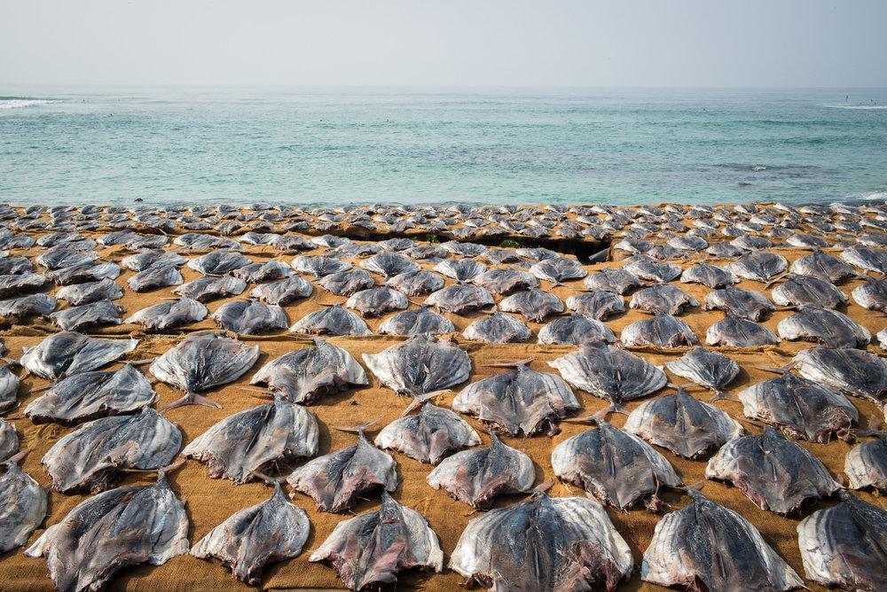 Sun drying tuna, Koggala, Southern Province