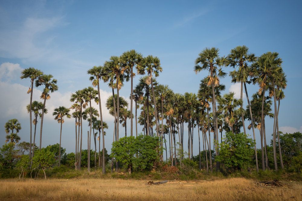 Plamyra palms are the symbol of Tamil culture as well as a source for products from fruit to roofing, and the mainstay of the Tamil toddy tappers of northern Sri Lanka.