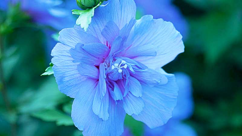 Blue Chiffon™ Rose of Sharon - 3 gallon — Stratford Landscape Supply ...