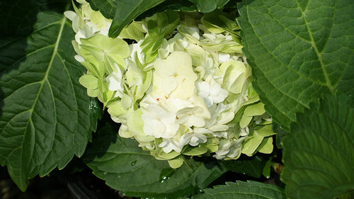 Double DelightsTM Wedding Gown Hydrangea 3 Gallon