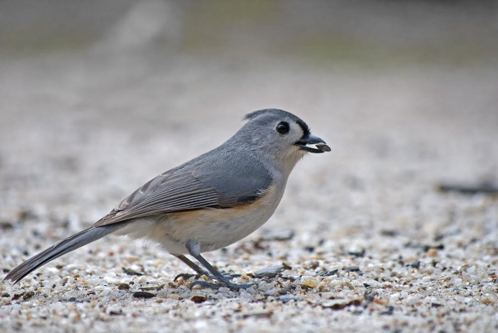 Tufted Titmouse   /by Luke Ormand