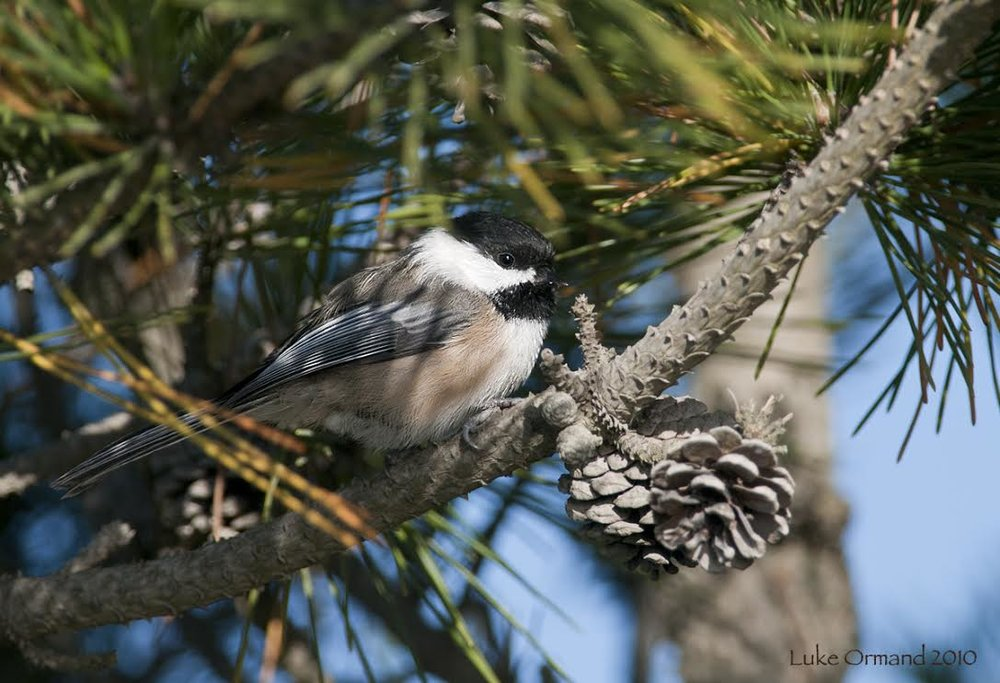 Black-capped Chickadee/by Luke Ormand
