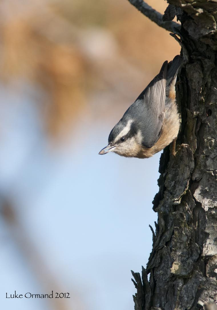Red-breasted Nuthatch  /by Luke Ormand