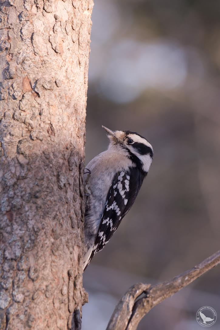 Downy Woodpecker  /by Luke Ormand