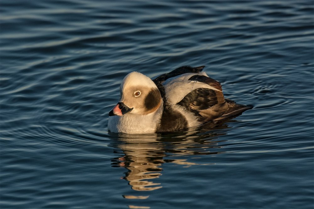 Long-tailed duck 2.JPG