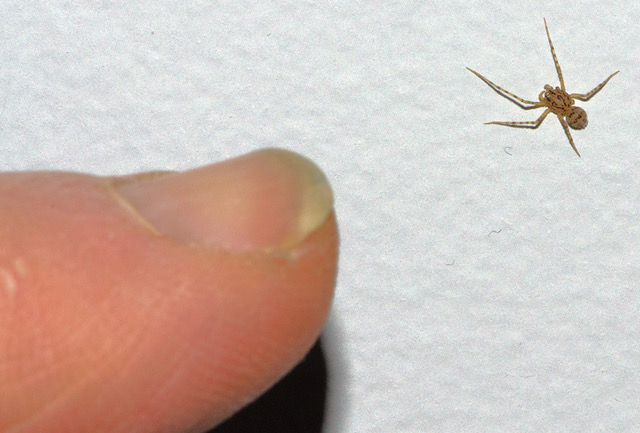 Scytodes thoracica relative size DSC_0899 300 ppi.jpeg