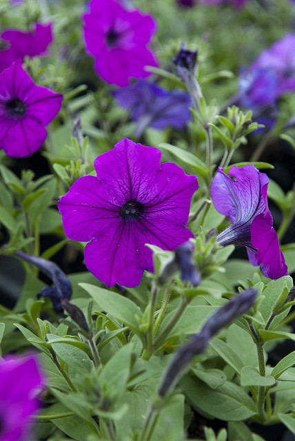 Search on Availability: Pet. Easy Wave Violet  Petunia hybrida x 'Easy Wave Violet'