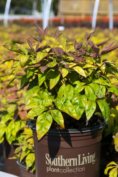 Click Photo for Online Availability   Search:  Nandina Blush Pink