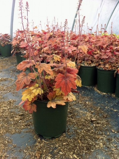 Click Photo for Online Availability    Search:  Heucherella Sweet Tea