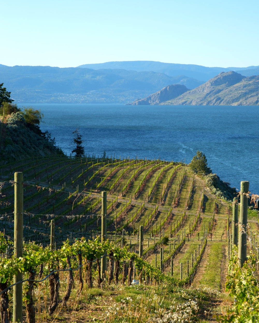 Gorgeous views: Evolve's Summerland vineyard swoops down towards Okanagan Lake (photo courtesy Evolve Cellars)