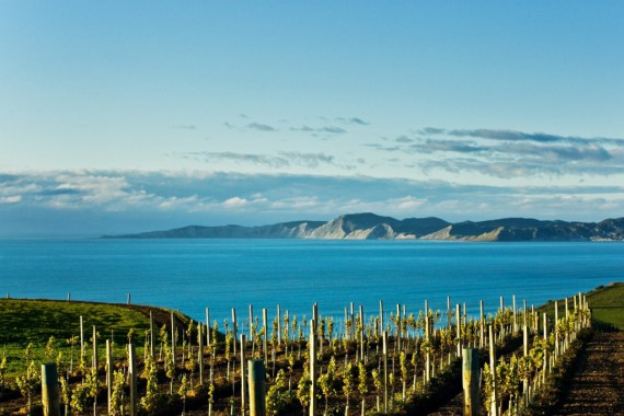 Sunny days and cool nights, plus strong coastal winds produce small, intensely flavoured grapes. Fruit from the northern Wairau Valley is known for tropical fruit flavours, and from the southern Awatere, a notable saline herbaceousness (with inland vineyards giving blackcurrant, citrus, and floral notes).