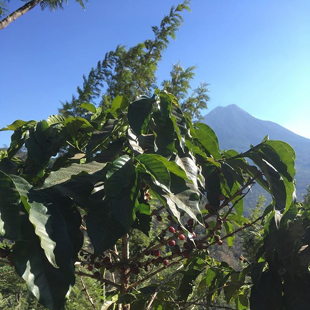 Incredible time at Finca Santa Clara where enthusiasm, integrity and reverence rule the day. Stay up to date on our visit at @fogliftercoffee.☕️🥑🌋🇬🇹❤️#foglifterfieldtrip