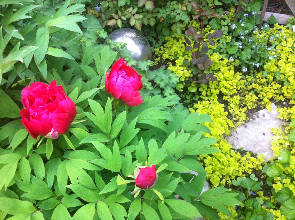 tree peonies, forget me nots and creeping jenny in my little city garden
