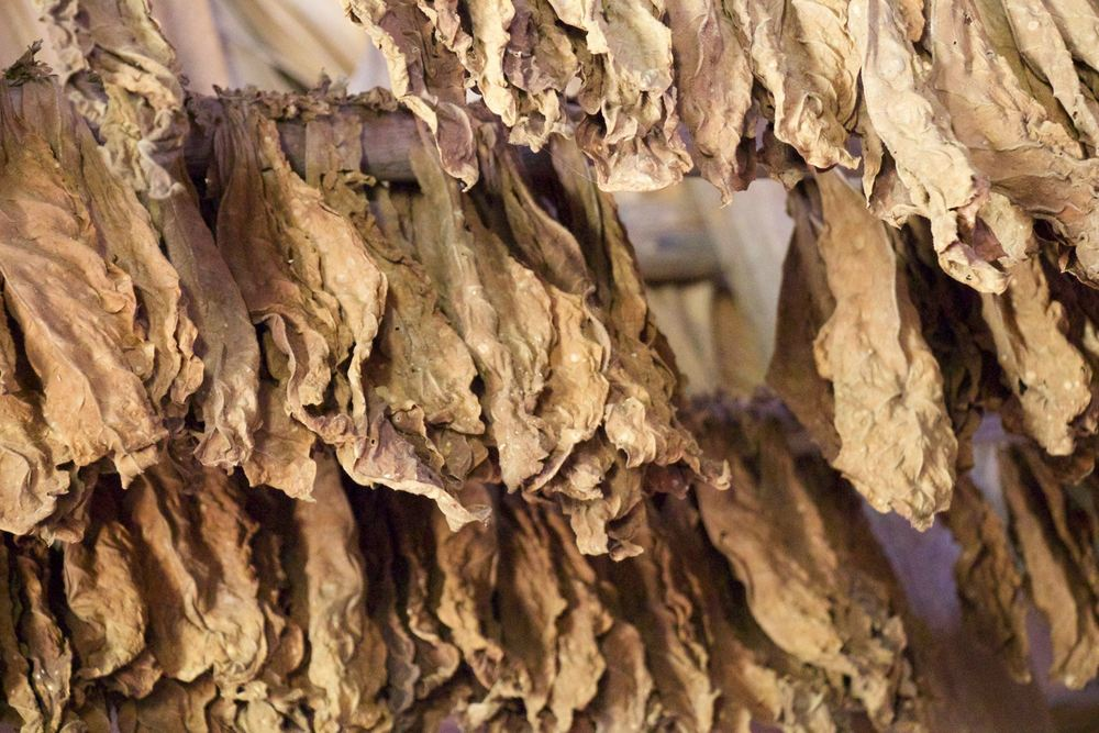 Tobacco leaves are a primary crop with sugar. Fascinating to see the process in the countrysides of drying leaves and prepping them for cigar manufacturing.