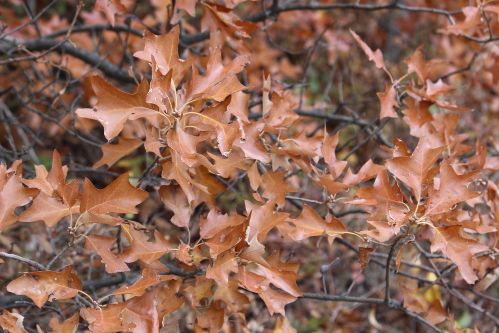 Bear Oak