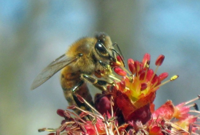 Red maple blossom visited by Honeybee: Image source   here