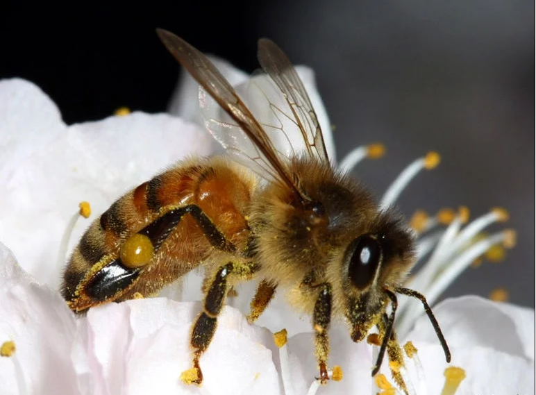 Honeybee on American plum blossom: Image source   here