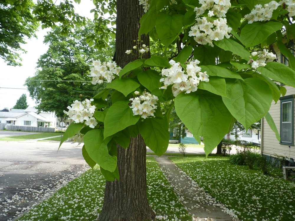 Catalpa tree blooming: Image source   here