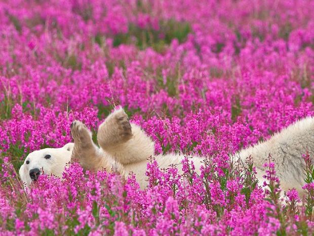 Fireweed can be found across north American all the way up to Alaska where it makes great honey! This photo by   Denis Fast   of a polar bear laying in a field of fireweed is both striking and beautiful.